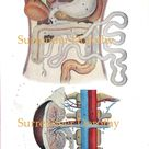 Human Anatomy Digestive System Original Vintage 1920s Lithograph Medical Chart To Frame