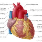 Diagrams, quizzes and worksheets of the heart