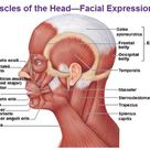 Answer the Anatomy of the Face Muscle Flashcards Flashcards by ProProfs