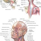 Human Muscular Anatomy of Head and Neck Poster Chart Body Midcal Education  | eBay