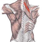 Rhomboideus minor red with rhomboideus minor. Rhomboid minor is the upper of the rhomboids. It originates at spinous processes of C7 T1 and inserts at the medial scapula border across from / just superior to the scapular spine.