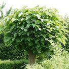 Kugeltrompetenbaum: Schmuckvoller Hausbaum