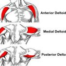 Anatomy Shoulder And Gaining Deltoids Muscles
