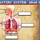 Parts Of The Respiratory System: Drag & Drop Worksheet: Google Slides + PPT