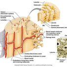 Compact Bone Diagram