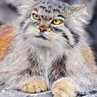 Female Pallas's cat