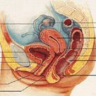 Fig. 3. Anatomy location of bladder, vaginal canal, cervix and uterus....