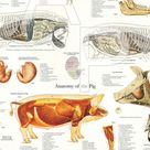 Cow Skeletal Muscle Anatomy Poster Wall Chart - 24