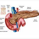 10 inch Photo. Anatomy of pancreas
