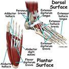 Foot Anatomy | eOrthopod.com