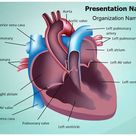 Cardiovascular Anatomy Ventricle PowerPoint Presentation