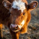 """cows. daily shared a photo on Instagram """"Describe this photo in only emojis 💗 ❤🐮Follow us ▶️cows. daily for more🐮 . 📷 Please DM No copyright infringement intended. All credit to…"""" • May 27, 2021 at 750pm UTC"""