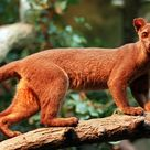 Pictures of Fossa   Madagaskars Tier- und Pflanzenwelt