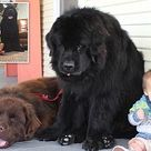 How a family's three children became buddies with their two giant dogs