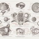 A2 Poster. Anatomy of the human eye, lithograph, published in 1874
