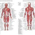Human Body Anatomical Chart Muscular System Fabric poster 32 x 24 17x13
