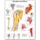 WANG ART back to school shoulder and elbow Anatomical Charts Posters Anatomy Canvas Print Wall Pictures Medical Education Office - 60x80cm no frame