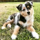 Special colored Aussie, blue merle aussie puppy, cute and beautiful puppy pictures