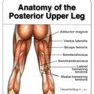 Anatomy of the Hamstring & Upper Leg