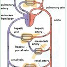 Arteries, veins and capillaries - structure and functions