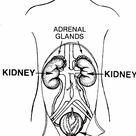 Kidney diagram