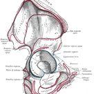 The Hip Bone - Human Anatomy