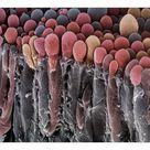 10 inch Photo. Choroid plexus secretory cells, SEM