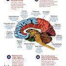 Brain Trauma Processing Chart: How the Brain