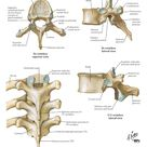 Spine & BackBonesThoracic vertebrae