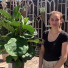 Fiddle Leaf Fig Houseplant Care Tips