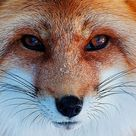 Fox Need