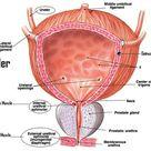 New drug 'retrains' immune system to fight aggressive bladder cancer - ScienceBlog.com