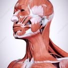 Illustration of the head and neck muscles - Stock Image - F023/4022