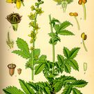 Agrimonia eupatoria - Wikipedia