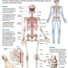 Human Body: Skeletal System