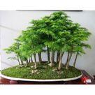 Juniper Bonsai Tree Seeds