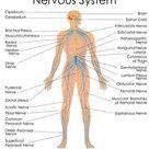 Medical Education Chart of Biology for Nervous System Diagram...