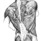 Human Anatomy Muscles   Muscles of the Back of the Trunk, Buttock, and Neck