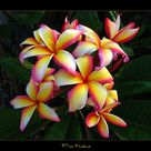 Hawaiian Flowers