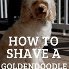 How to Shave a Goldendoodle? [Grooming Steps and Video Guide] - Oodle Life