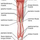 Leg (anatomy)