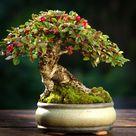 Bonsai Trees For Beginners Grow Your First Bonsai Tree