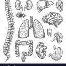 Human organs sketch body anatomy icons vector image on VectorStock