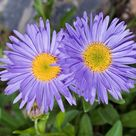 Aster Alpinus - Goliath seed           75 cent shipping on entire order