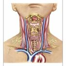A1 Poster. Anatomy of human neck