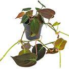 Fangblatt - Philodendron Micans  - Baumfreund mit samtigen Blätter - stylische Rankpflanze Ø 12 cm Topf