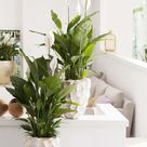 Einblatt ist Zimmerpflanze des Monats Juni