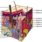 Integumentary System - body, used, water, chemical, carbon, oxygen, cells, parts