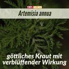 Artemisia annua   göttliches Kraut mit verblüffender Wirkung