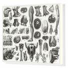Box Canvas Print. Anatomy of Organs Engraving